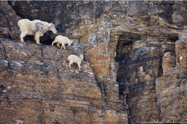 extreme Goats 1