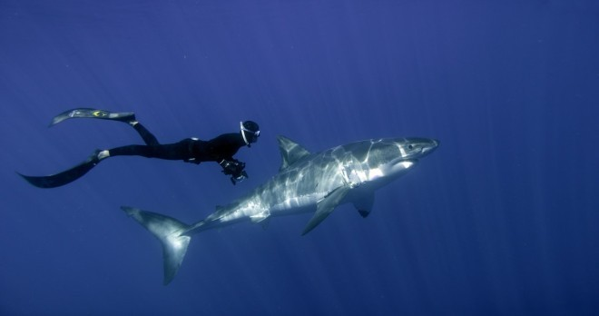 William Winram avec un Grand Requin Blanc © Luke Cresswell